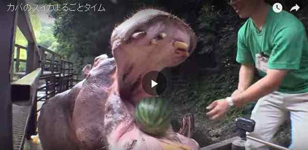 فيديو فرس النهر يأكل البطيخ في عضة واحدة فقط
