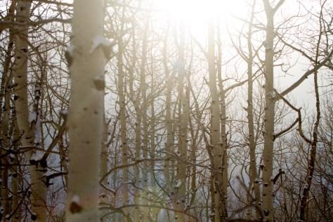 Light shines through aspen trees in Utah during the winter.
