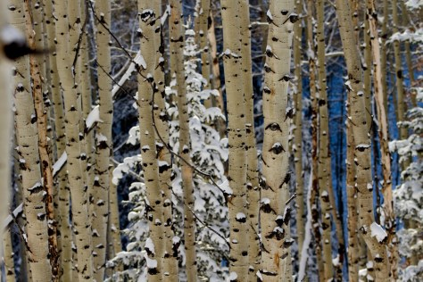 Snow on aspen trees in the woods of Big Cottonwood Canyon, Utah.