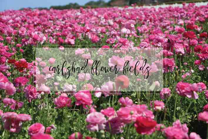 Carlsbad Flower Fields|Ahrens at Home