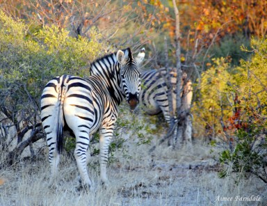 A herd of Plains Zebra disappears into the bush | Tuli, Botswana