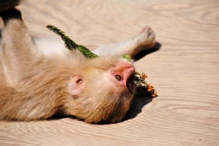 A young Japanese Macaque finds a toy in some pulled up flowers   Nagano, Japan