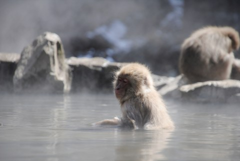 Surrounded by steam, this Japanese Macaque or 'Snow Monkey' enjoys the heat from the hot spring   Nagano, Japan