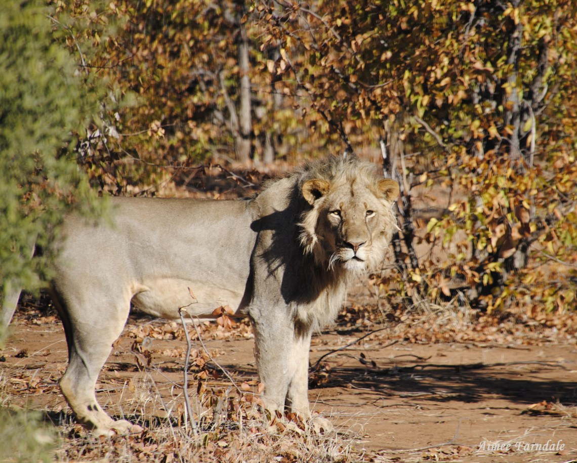 A male lion emerges from the bush meters from the game truck | Tuli, Botswana