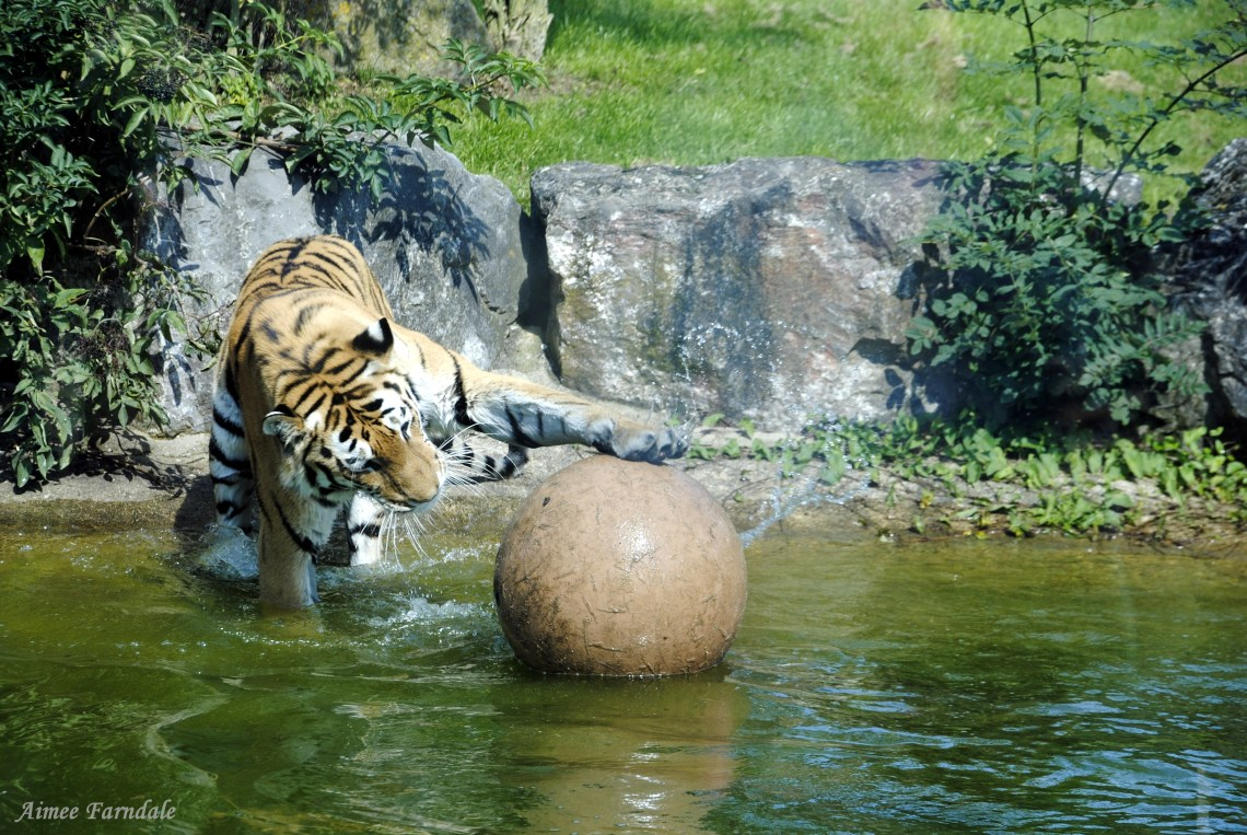 Marwell Wildlife's  Amur tiger, Bagai, plays in his enclosure's pool | Hampshire, UK