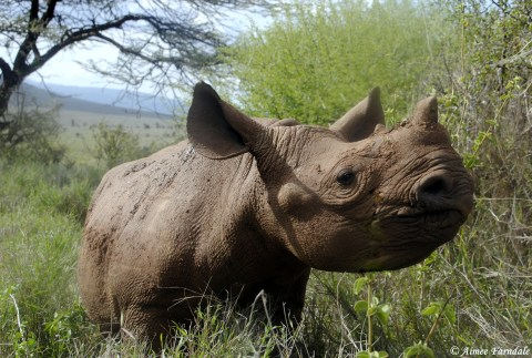 Orphaned black rhino, Hope, stopping for a snack. Hope, along with 2 other young rhinos, is cared for by rangers 24/7 after her mother was killed by poachers   Kenya Edit: Sadly, since this photo was taken in 2015, Hope has passed away.