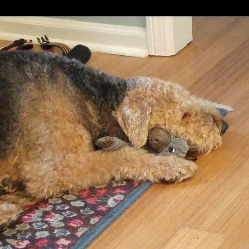 Peculiar Previous Atra Airedale Terrier Rescue Adoption Finding Loving Homes One All Terrier Rescue Hunters Crossing All Terrier Rescue Oregon Reviews