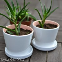 DIY: How To Plant Aloe Vera For Indoors