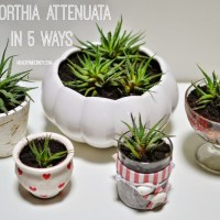 DIY: Haworthia Attenuata / Fasciata In 5 Ways