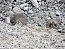 Everest/Lhotse 2016: Sacred Birds and Kala Patar