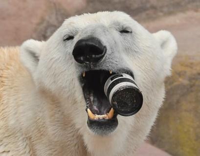 polar-bear_2373506k