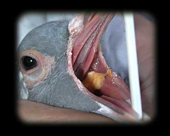 Pigeon with canker