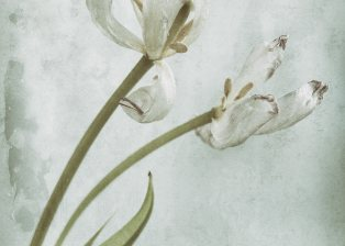 Photo of withering tulips