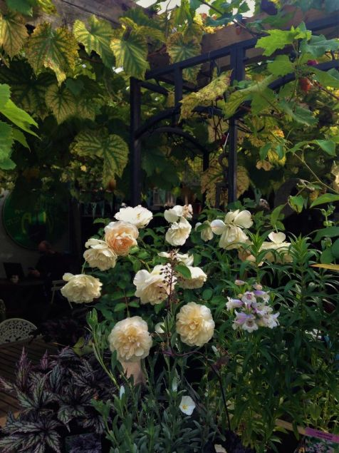 The vine and David Austin roses