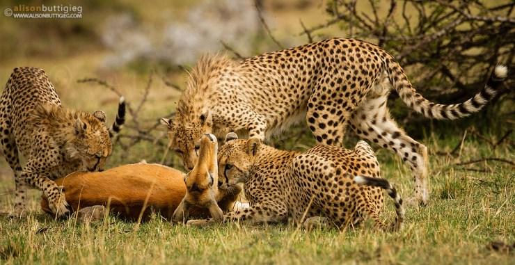award winning photo of impala killed by cheetah
