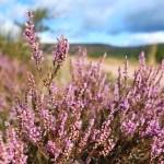 Scotland, Aberdeenshire, Heather, 48walks