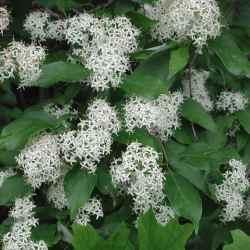 Identify bush white flowers white flower tree identification images flower decoration ideas mightylinksfo