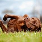 labrador retriever dog rolling on the grass