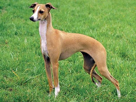 italiangreyhound1