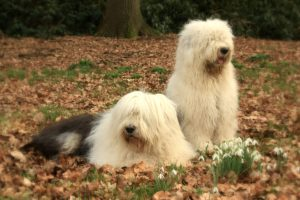 Two-Old-English-Sheepdogs popular farm dogs