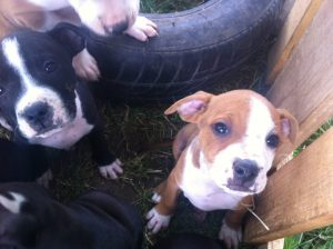 pitbull puppies