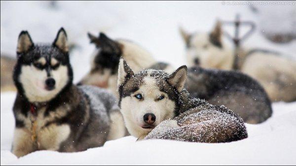 Dogs that look like Huskies