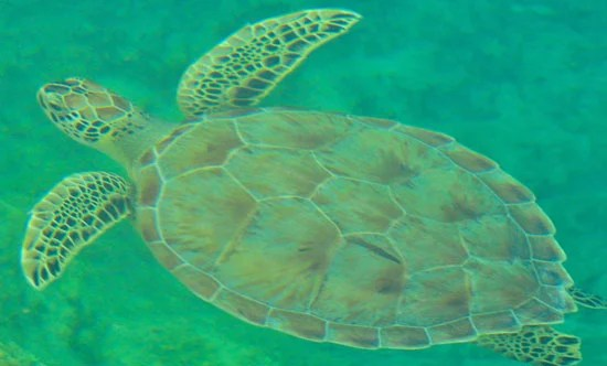 """MEET OUR OFFICIAL HARBOUR MASCOT 'LOGGY"""" - a loggerhead turtle that regularly frequents the marina. He's (We think it's a he!) one of the wonders of nature that abound in and around Great Exuma, in the fabulous Bahamas! (EMERALD BAY MARINA PHOTO)"""