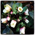 Helleborus x Ericsmithii 'Shooting Star' in my garden.