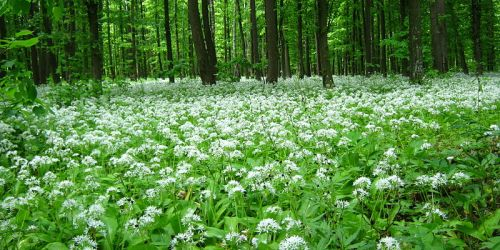 Wild garlic in flower.