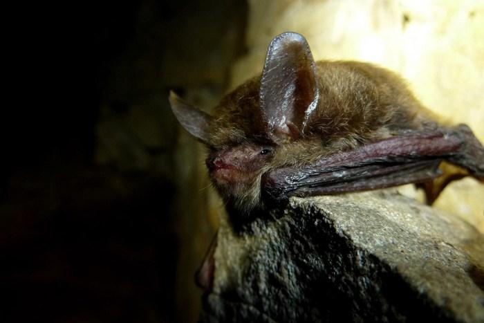 northern-long-eared-bat