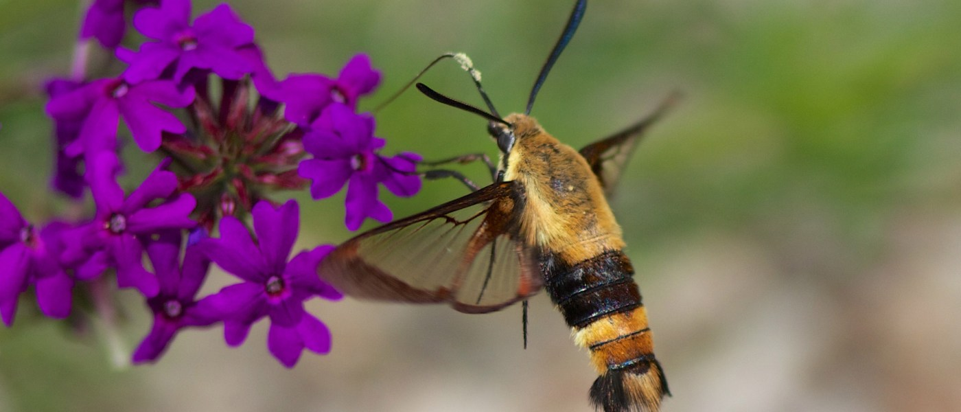 hummingbird-moth-2400px