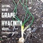 Getting Rid of Grape Hyacinth Weeds