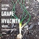 Getting Rid of Grape Hyacinth Weeds