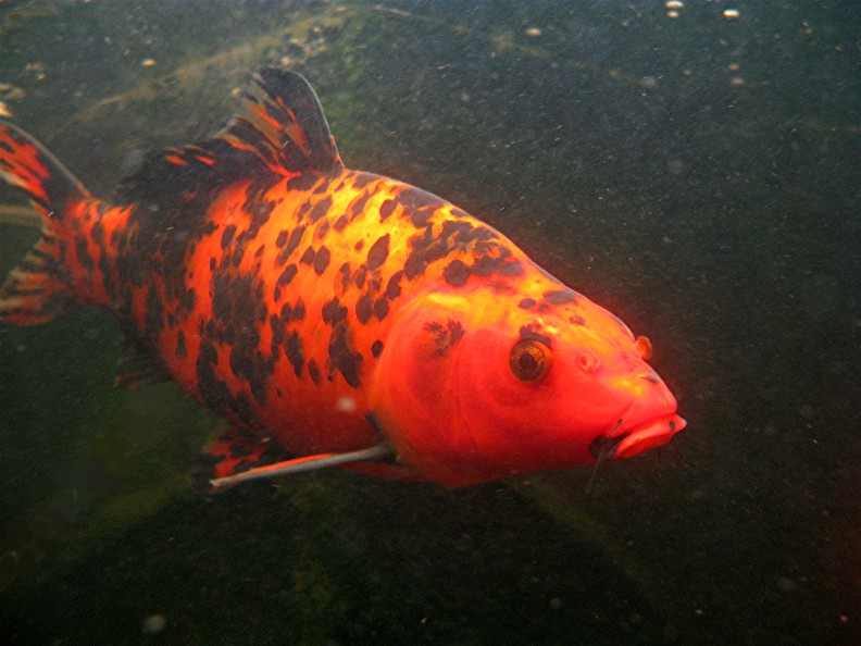 Types of fish for aquaponics all self sustained for Koi aquaponics