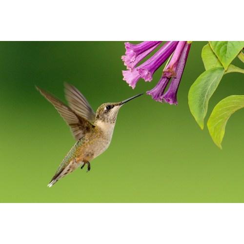Medium Crop Of When To Stop Feeding Hummingbirds