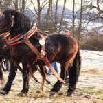 Draft Horse Competition in Slovakia