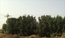 شجرة الدمس في السودان من الزينة للخراب