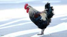 دجاجة تثير قلق الشرطة في ولاية أوريغون