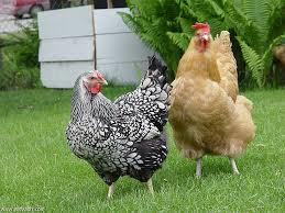دجاج للإيجار