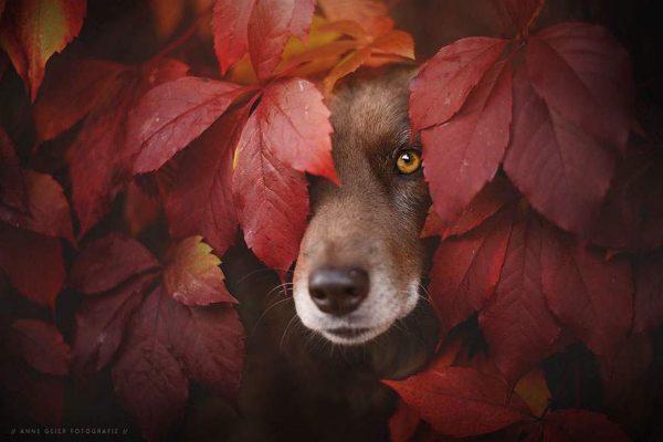 فنانة تلتقط صور مدهشة لكلاب تستمتع بفصل الخريف5