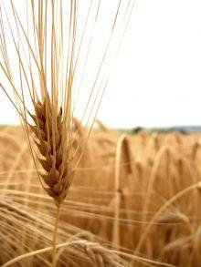 البنك الزراعي والقمح