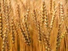 فساد تقاوي القمح يؤجل الزراعة في مشروع الجزيرة