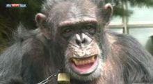 مطالبات بمنح شمبانزي شخصية قانونية