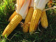 القضارف تحقق انتاجية عالية في محصولي السمسم والذرة