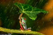مصور يلتقط لحظة نادرة لضفدع يحمي شريكته من المطر
