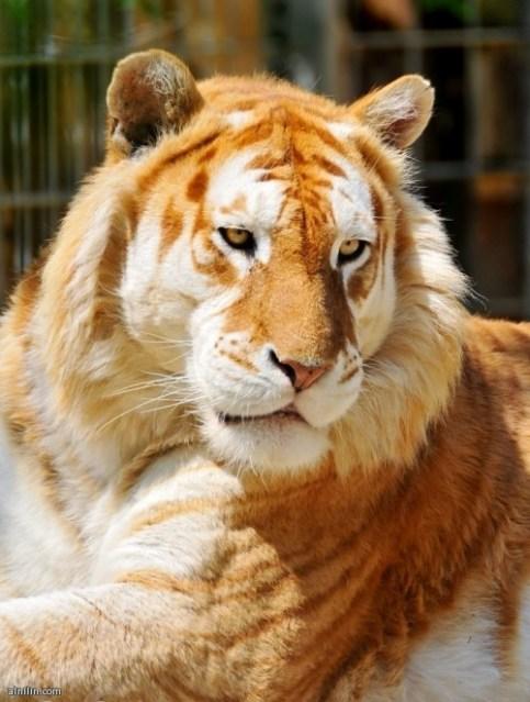 النمر الذهبي -  يوجد حوالي 30 نمرا فقط من هذا اللون في العالم