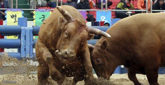 """صراع بين ثورين خلال احتفال """"مصارعة الثيران"""" في شيونجدو في كوريا الجنوبية الذي يشارك فيه 120 ثورا"""