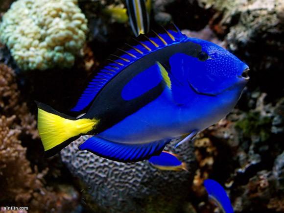 سمكة التانج الزرقاء