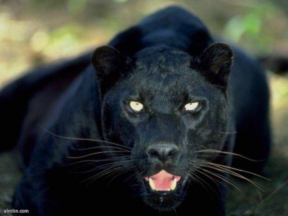صورة لفهد من الفهود التى اصبحت مهددة بالانقراض