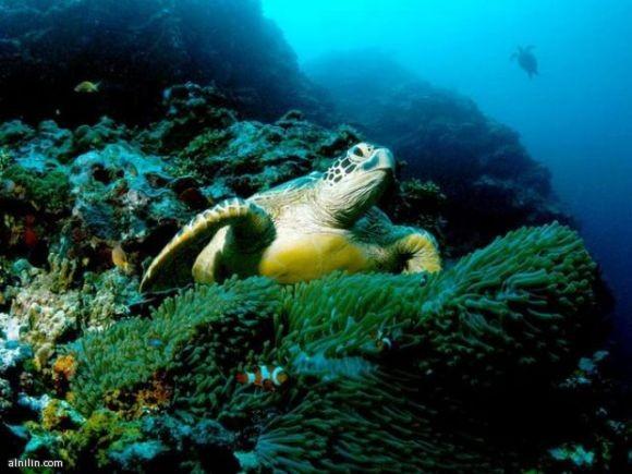 سلاحف البحر الخضراء